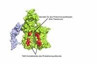 Ein hilfsbereites Protein als Torwächter