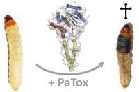 Toxin tötet mit doppeltem Mechanismus