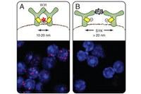 Nano-Maßband klärt Organisation der Zellmembran auf