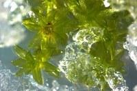 Mosses survive climate catastrophes