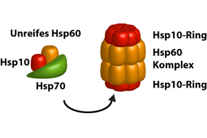 Molekulare Anstandsdamen helfen beim Falten