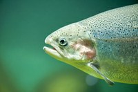 Toxin from Salmonid Fish has Potential to Treat Cancer