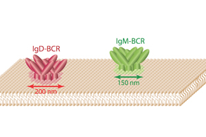 A glimpse into the nanoworld of lymphocyte cell membranes