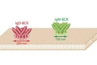 Proteininseln auf der Zellmembran