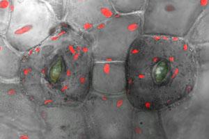 Biologen entschlüsseln Ursprung von Spaltöffnungen