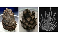 Conifer cones bear their ages well, and still move it