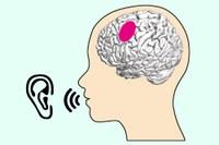 What articulation-relevant brain regions do when we listen