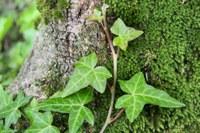Climbing like ivy