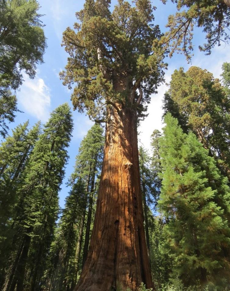 Wie der Riesenmammutbaum sich schützt